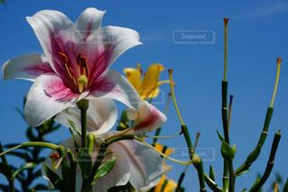 花も空も快晴の写真・画像素材[1383173]