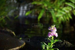 夜の花と池の写真・画像素材[1681277]