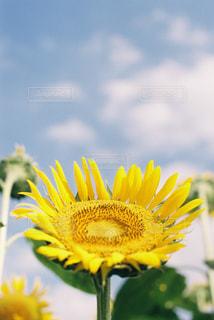 黄色の花の写真・画像素材[1123778]