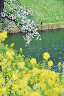 春,桜,東京,菜の花,千鳥ヶ淵,花絶景