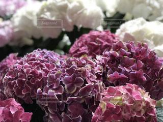 近くに紫の花のアップの写真・画像素材[1219601]