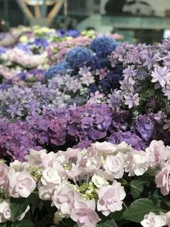 花,ピンク,植物,紫陽花,梅雨,草木