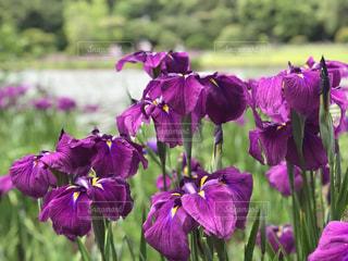公園,花,植物,梅雨,草木,アヤメ
