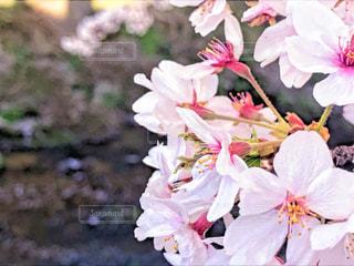 自然,花,桜,景色