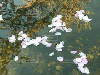 自然,花,春,桜,屋外,川,水面,景色,樹木,草木