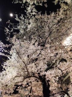 桜,夜,屋外,東京,花見,夜桜,月,渋谷