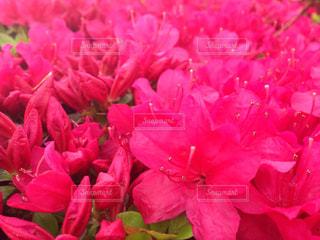 花,屋外,東京,ピンク,ツツジ