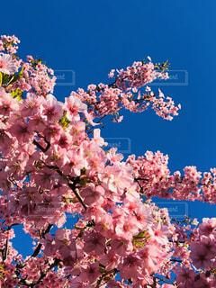 自然,空,花,春,ピンク,青,青い空,鮮やか,お花見,ピクニック,イベント,草木,桜の花,さくら,ブロッサム
