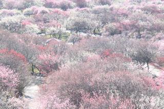 自然,ピンク,白い,癒し,旅行,華やか,赤い,梅の花,いなべ市,インスタ映え,2017年3月