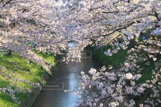 花,桜,ピンク,癒し,川沿い,華やか,インスタ映え,2017年4月,名古屋市黒川