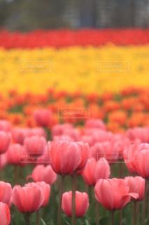 花,ピンク,チューリップ,爽やか,癒し,旅行,華やか,牧歌の里,インスタ映え,多色,2017年4月
