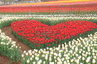 花,赤,チューリップ,爽やか,ハート,癒し,旅行,華やか,牧歌の里,インスタ映え,多色