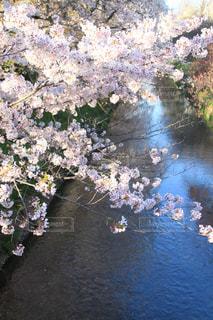 花,桜,白,川,景色,癒し,インスタ映え,2017年4月,名古屋市黒川
