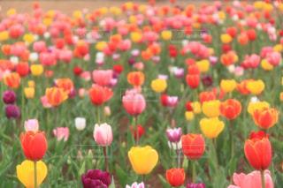 花,花畑,黄色,チューリップ,癒し,旅行,夢の中,牧歌の里,インスタ映え,多色,2017年4月