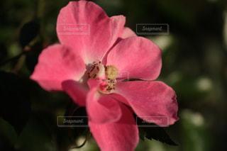 ピンクの空 - No.1214543