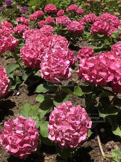 花,屋外,ピンク,紫陽花,癒し,旅行,梅雨,気分転換,無加工,草木,形原温泉,インスタ映え,多色