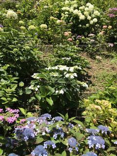 花,屋外,紫陽花,癒し,旅行,気分転換,無加工,形原温泉,インスタ映え,多色