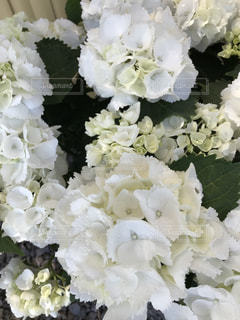 花,屋外,白,紫陽花,癒し,旅行,気分転換,無加工,形原温泉,インスタ映え,多色