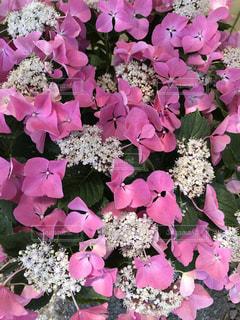花,屋外,ピンク,紫陽花,癒し,旅行,気分転換,無加工,草木,形原温泉,インスタ映え,多色