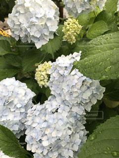 花,屋外,紫,紫陽花,癒し,雨上がり,気分転換,グラデーション,無加工,草木,インスタ映え,多色