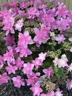 花,屋外,ピンク,紫,紫陽花,癒し,旅行,気分転換,無加工,草木,形原温泉,インスタ映え,多色