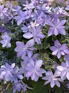 花,屋外,ピンク,紫,紫陽花,癒し,旅行,気分転換,無加工,形原温泉,インスタ映え,多色