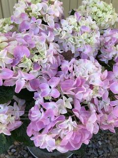 花,屋外,紫,紫陽花,癒し,旅行,気分転換,無加工,草木,形原温泉,インスタ映え,多色