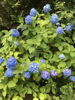 花,屋外,紫,草,紫陽花,癒し,旅行,気分転換,無加工,草木,インスタ映え,多色