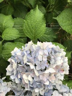 花,雨,屋外,緑,紫,景色,紫陽花,癒し,気分転換,無加工,草木,インスタ映え,多色