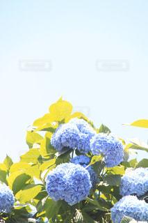 自然,花,屋外,紫,紫陽花,癒し,旅行,気分転換,無加工,草木,熱中症,インスタ映え,多色