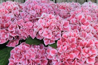 ピンクの紫陽花の写真・画像素材[1383602]