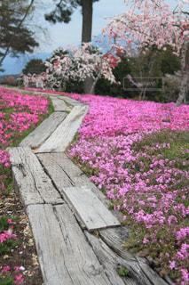 自然,屋外,ピンク,癒し,芝桜,気分転換,無加工,インスタ映え,多色