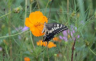 花,屋外,コスモス,癒し,蝶,気分転換,オレンジ色,無加工,景観,インスタ映え,多色