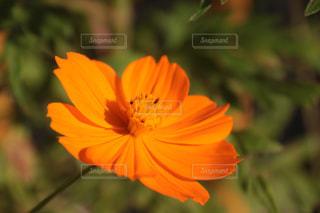 花,屋外,コスモス,癒し,気分転換,オレンジ色,無加工,景観,インスタ映え,多色
