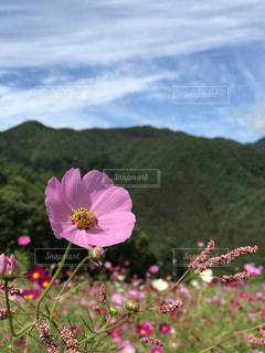 空,花,ピンク,コスモス,雲,癒し,旅行,無加工,インスタ映え,多色,ヒーリングアート