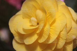 優しい薔薇の写真・画像素材[2049013]