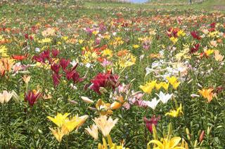 野原の黄色い花の写真・画像素材[2267393]