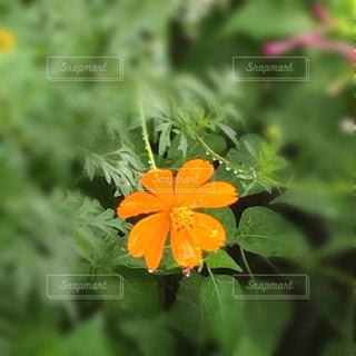 自然,花,秋,コスモス,インスタ,フォトジェニック