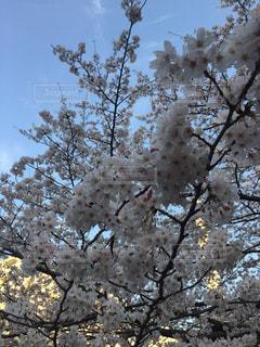 空,花,桜,白,お花見,目黒川,青い
