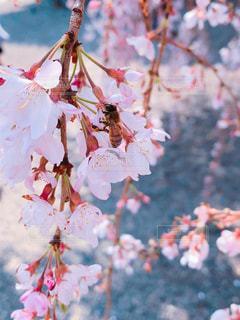 花,桜,蜂,和歌山,道成寺