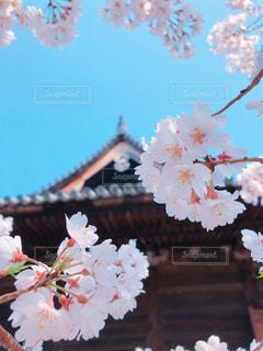 花,桜,青空,晴天,和歌山,道成寺