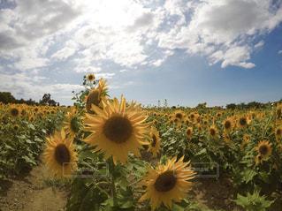 空,花,ひまわり,晴天,向日葵,ひまわり畑,和泉リサイクル環境公園