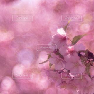 自然,公園,花,春,桜,屋外,花見,お花見,ピクニック,河川敷,ライフスタイル,江戸川河川敷緑地