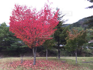 森の中の赤いツリーの写真・画像素材[1114576]