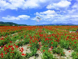花,絶景,花畑,屋外,ポピー畑,5月,笠岡ベイファーム,花絶景