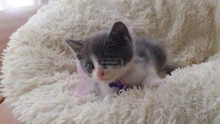 生後1カ月の子猫の写真・画像素材[1263715]