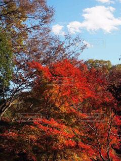 高尾山の紅葉の写真・画像素材[1639628]