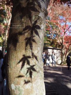 木に移る紅葉の影の写真・画像素材[1639632]