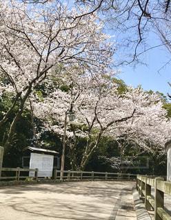 花,桜,ピンク,景色,鮮やか,樹木,新鮮,姫路城,さくら