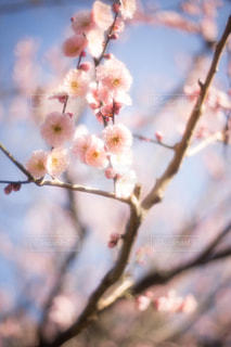 自然,風景,公園,春,桜,屋外,梅,散歩,樹木,桃,日中
